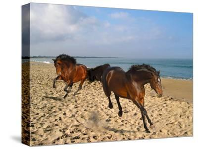 Dream Horses 002-Bob Langrish-Stretched Canvas Print