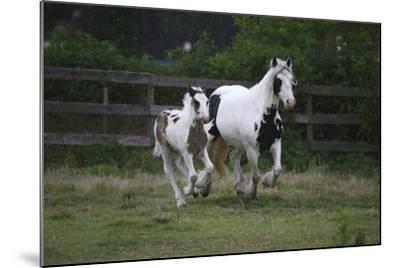 Gypsy Vanner 021-Bob Langrish-Mounted Photographic Print