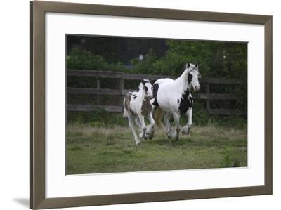Gypsy Vanner 021-Bob Langrish-Framed Photographic Print