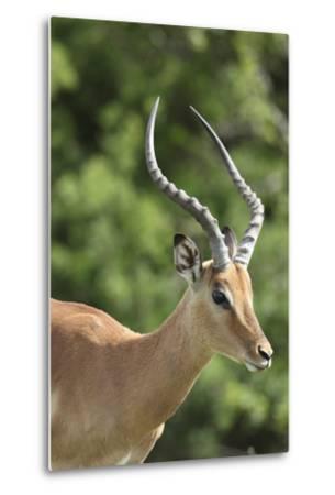 African Impala 09-Bob Langrish-Metal Print