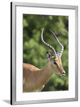 African Impala 09-Bob Langrish-Framed Photographic Print