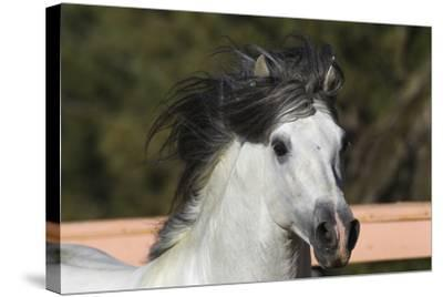 Andalusian 009-Bob Langrish-Stretched Canvas Print