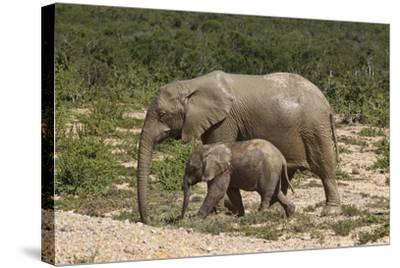 African Elephants 055-Bob Langrish-Stretched Canvas Print
