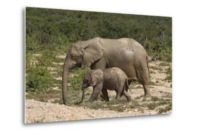 African Elephants 055-Bob Langrish-Metal Print