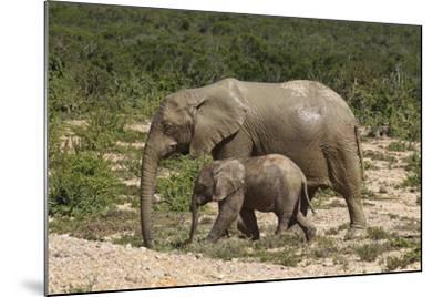 African Elephants 055-Bob Langrish-Mounted Photographic Print