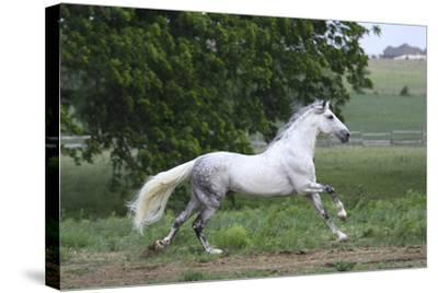 Andalusian 001-Bob Langrish-Stretched Canvas Print