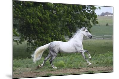 Andalusian 001-Bob Langrish-Mounted Photographic Print