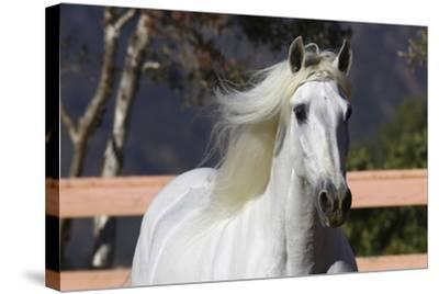 Andalusian 003-Bob Langrish-Stretched Canvas Print