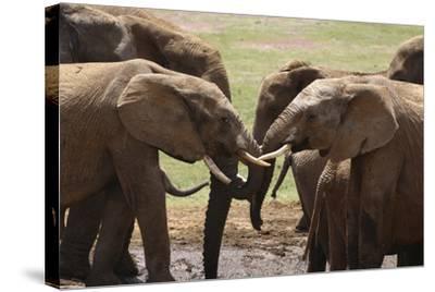 African Elephants 049-Bob Langrish-Stretched Canvas Print