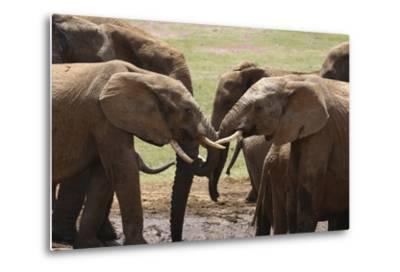 African Elephants 049-Bob Langrish-Metal Print