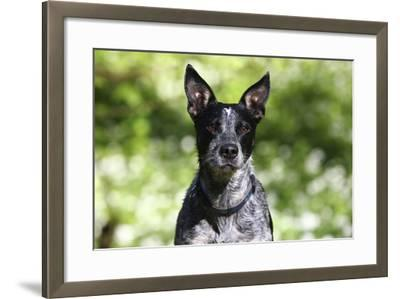 Australian Heeler 06-Bob Langrish-Framed Photographic Print