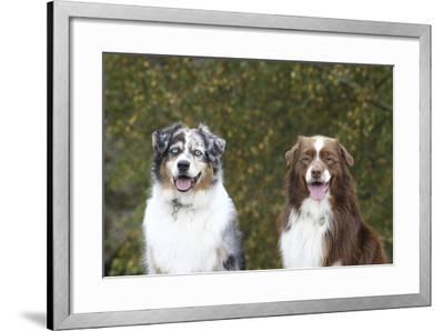 Australian Shepherd 25-Bob Langrish-Framed Photographic Print
