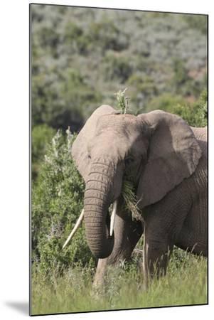 African Elephants 085-Bob Langrish-Mounted Photographic Print