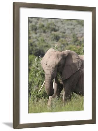 African Elephants 085-Bob Langrish-Framed Photographic Print