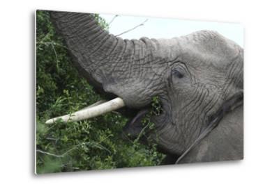African Elephants 134-Bob Langrish-Metal Print
