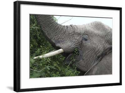 African Elephants 134-Bob Langrish-Framed Photographic Print