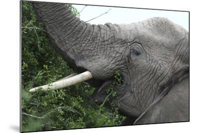 African Elephants 134-Bob Langrish-Mounted Photographic Print