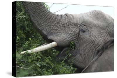 African Elephants 134-Bob Langrish-Stretched Canvas Print