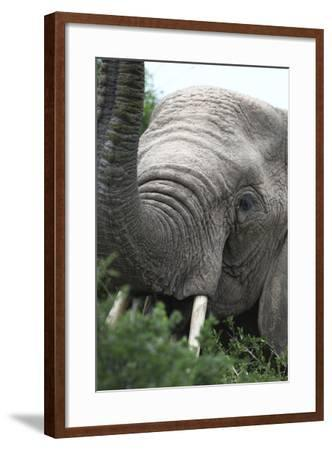 African Elephants 133-Bob Langrish-Framed Photographic Print