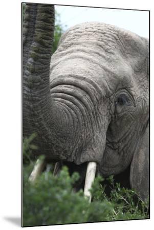African Elephants 133-Bob Langrish-Mounted Photographic Print