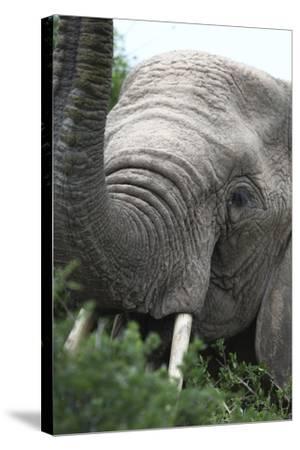 African Elephants 133-Bob Langrish-Stretched Canvas Print