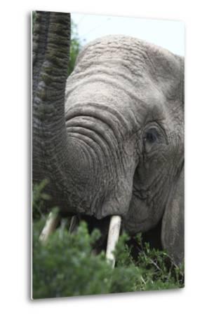African Elephants 133-Bob Langrish-Metal Print