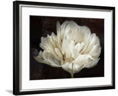 Double White Tulip-Cora Niele-Framed Photographic Print