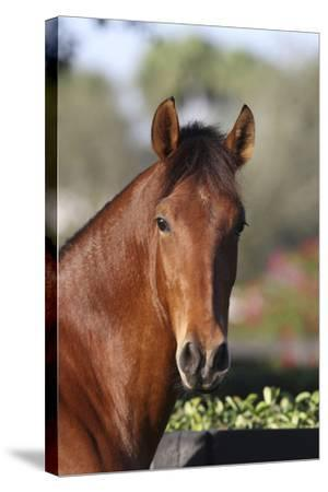 Andalusian 059-Bob Langrish-Stretched Canvas Print