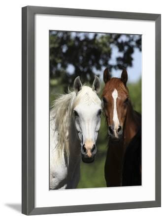 Arabians 003-Bob Langrish-Framed Photographic Print