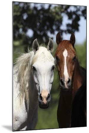 Arabians 003-Bob Langrish-Mounted Photographic Print
