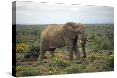 African Elephants 197-Bob Langrish-Stretched Canvas Print