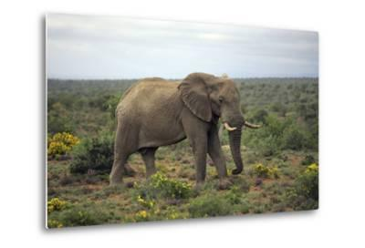 African Elephants 197-Bob Langrish-Metal Print