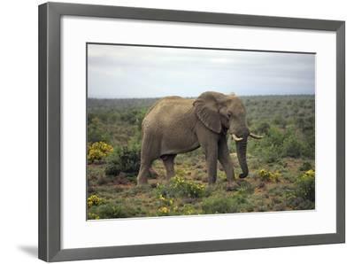 African Elephants 197-Bob Langrish-Framed Photographic Print