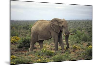 African Elephants 197-Bob Langrish-Mounted Photographic Print
