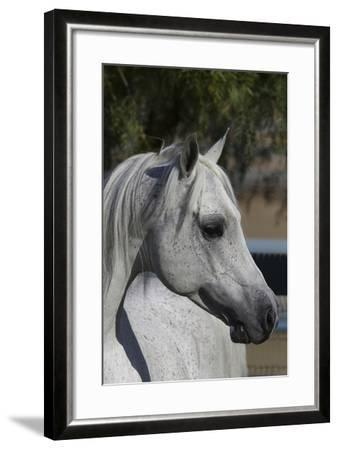 Arabians 005-Bob Langrish-Framed Photographic Print