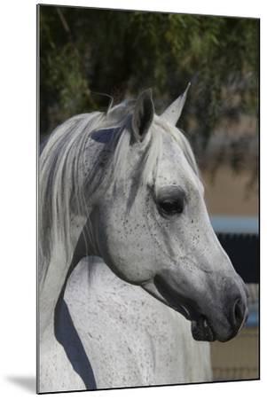 Arabians 005-Bob Langrish-Mounted Photographic Print