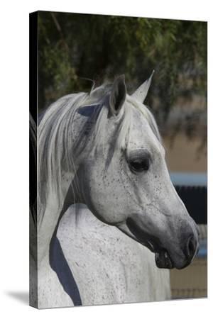 Arabians 005-Bob Langrish-Stretched Canvas Print