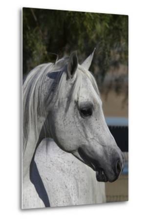 Arabians 005-Bob Langrish-Metal Print