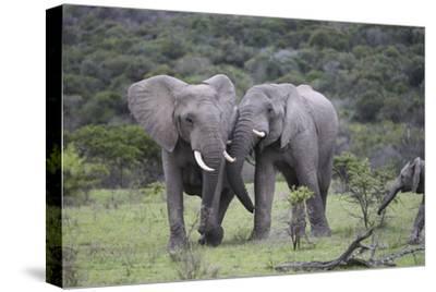 African Elephants 172-Bob Langrish-Stretched Canvas Print