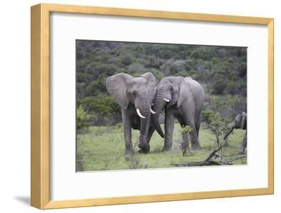 African Elephants 172-Bob Langrish-Framed Photographic Print