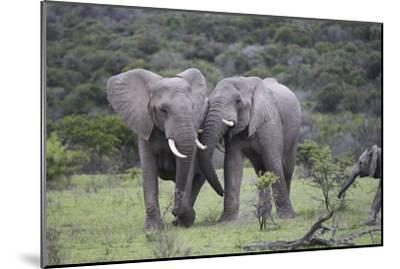 African Elephants 172-Bob Langrish-Mounted Photographic Print