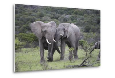 African Elephants 172-Bob Langrish-Metal Print