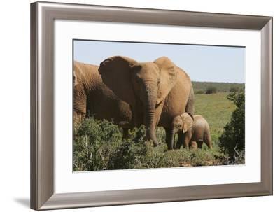 African Elephants 182-Bob Langrish-Framed Photographic Print