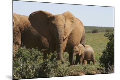 African Elephants 182-Bob Langrish-Mounted Photographic Print