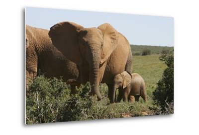 African Elephants 182-Bob Langrish-Metal Print