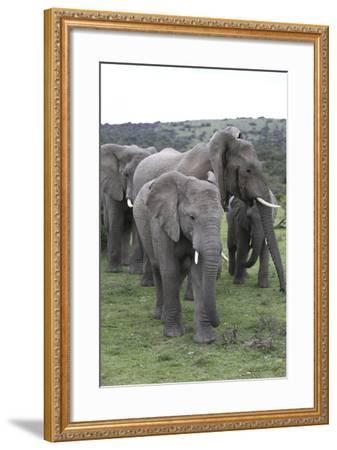 African Elephants 176-Bob Langrish-Framed Photographic Print