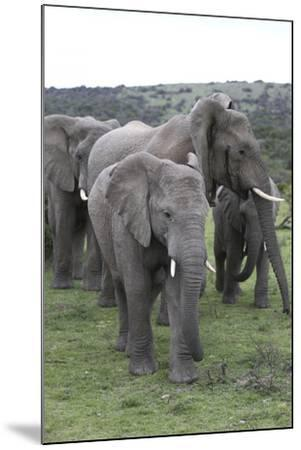 African Elephants 176-Bob Langrish-Mounted Photographic Print
