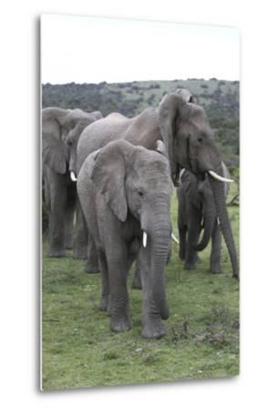 African Elephants 176-Bob Langrish-Metal Print