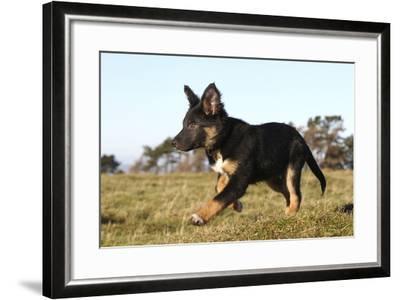 Border Collie 10-Bob Langrish-Framed Photographic Print