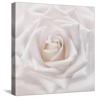 Soft White Rose-Cora Niele-Stretched Canvas Print